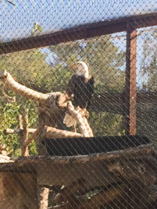 Image of eagle in Moorpark Zoo