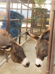 Image of donkeys at Moorpark Zoo